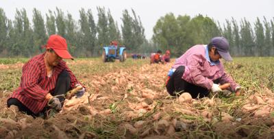 小小蜜薯,甜上心头——汶上县税务局扶贫纪实