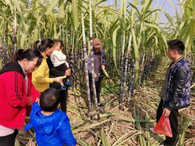 走向我们的小康生活   打工仔回乡创业 甘蔗种出甜蜜新生活