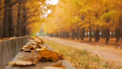 """一座被銀杏溫暖的小城,""""醉""""美的秋天"""