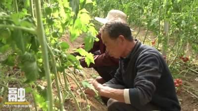 發展大棚經濟培育特色產業 鄉村振興服務隊助農增收