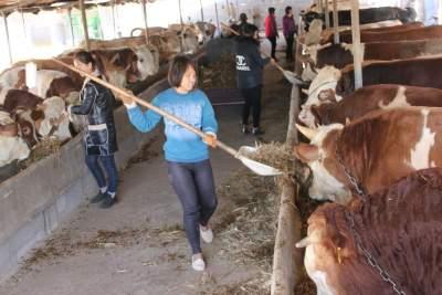 畜牧扶贫惠百姓 梁山8000名农民饲养的黄牛畅销东北