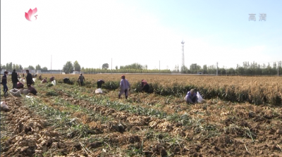 汶上縣苑莊鎮大王莊村:支部領辦合作社 黃姜種出致富路