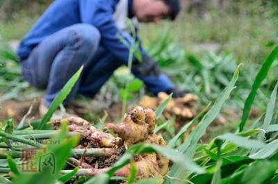 """一块小生姜让农民尝到新产业甜头 姜产业鼓起村民""""钱袋子"""""""