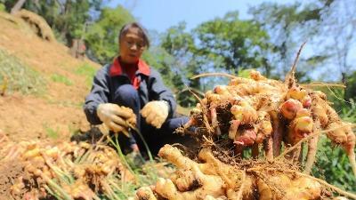 汶上:粮农种生姜,一亩纯挣一万五
