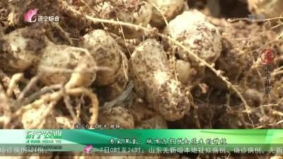 专家课堂:城市近郊鲜食花生的种植