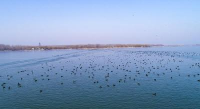 数万只野鸭齐聚微山湖觅食越冬