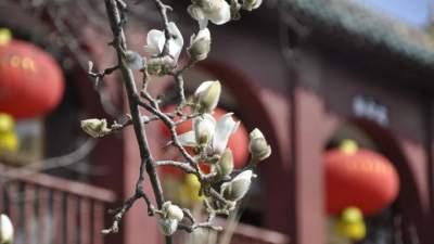 济宁赏花季第一弹 太白楼的白玉兰