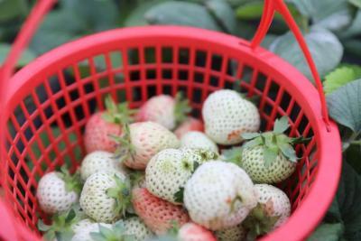 """吃过""""网红新贵""""白草莓吗?济宁这里可以采摘了"""