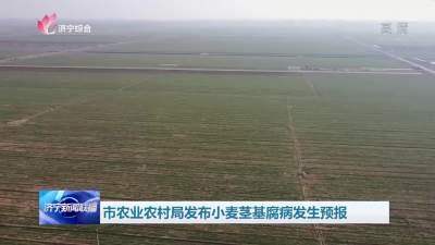 市农业农村局发布小麦茎基腐病发生预报