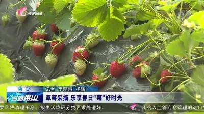 """梁山草莓采摘 乐享春日""""莓""""好时光"""