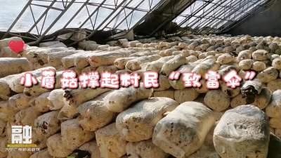 """泗张镇太平村:小蘑菇撑起村民""""致富伞"""""""