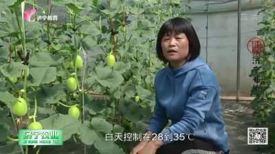 專家課堂:早春甜瓜優質栽培技術
