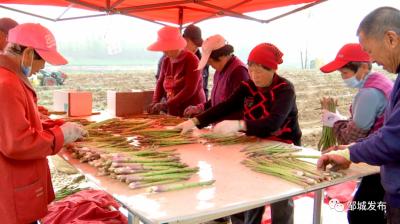 鄉村振興 | 鄒城:蘆筍采收正當時 鄉村振興產業旺