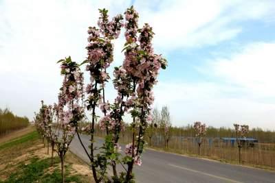 春到濟寧 | 十里長堤海棠花開(組圖)