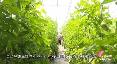 """乡村振兴丨鱼台这里的""""棚二代""""成为西红柿的主力军"""