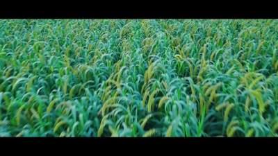 立秋將至 谷穗飄香