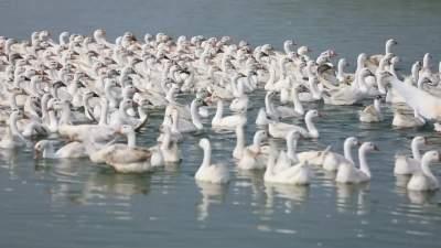 乡村振兴 | 新濠天地官网经开区:幸福河里的幸福鹅