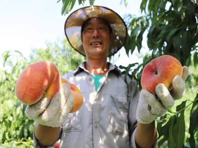 百亩桃园成熟上市 产业富民结出硕果