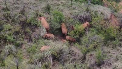 云南助力北移亞洲象群南返情況調查:大象的旅行結束了嗎