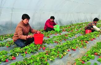 """邹城中心店草莓入选 """"全国名特优新农产品""""名录"""