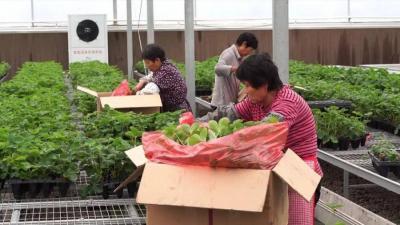"""小小草莓苗 鼓起农民的""""钱袋子"""""""