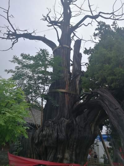 新濠天地官网最古老的一棵古柏树,已经2000多岁了!