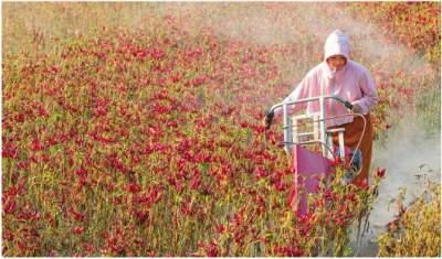 """大地披""""红装""""!金乡县40万亩辣椒喜获丰收"""