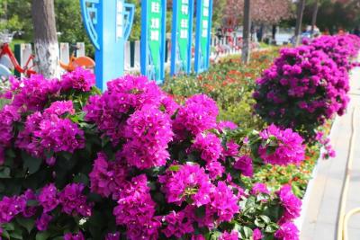 """万菊芳菲!10月20日起,高新区菊花盛宴等你""""打卡"""""""